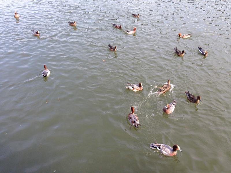 白水大池公園の鴨