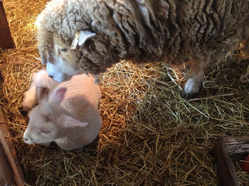 油山牧場の羊
