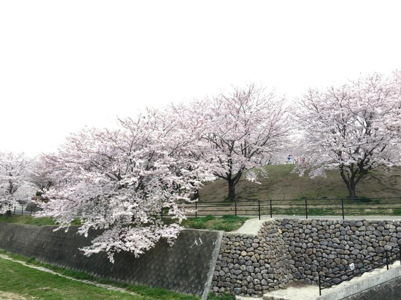 安徳公園の桜