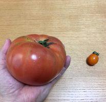 西海トマトは大きくて育っても味が落ちないのはすごい。