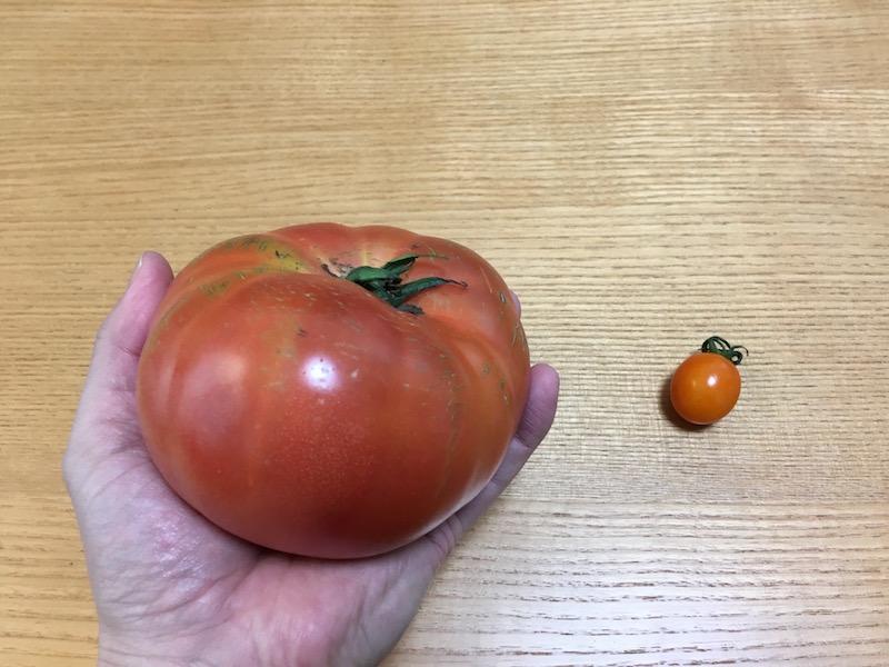 デカすぎるトマト