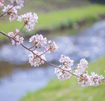 福岡の桜は明日3月24日が開花予想日だそうです。
