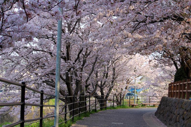安徳公園の桜並木