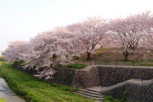 安徳公園の桜が超綺麗なんで、久しぶりにブログ更新。