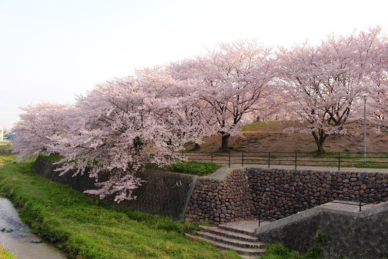 那珂川の安徳公園の桜